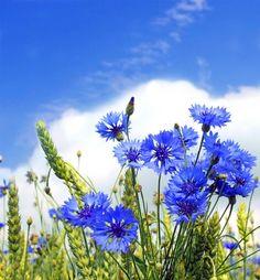 Kwiaty chabry