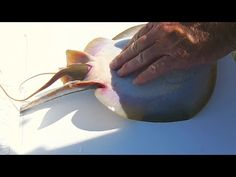 He Caught A Stingray & Was About To Throw It Back, But When He Pressed on Its Belly THIS Came Out | World Truth.TV
