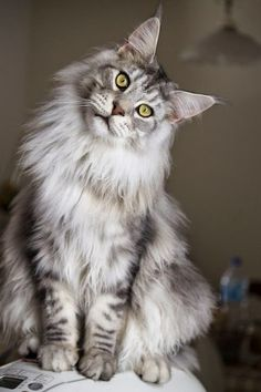 Grey Maine Coon Can't wait to get a kitten! Barney is half, but I want a full Maine Coon at some point in my life.