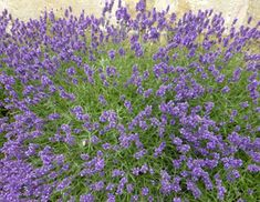 Gardening advice and tips about How to grow Lavender, information about the different types of Lavender, prefered growing conditions and how hardy is lavender. Advice how to prune lavender and how to plant a lavender path. Growing Lavender, Shrubs, Advice, Garden, Wall, Flowers, Plants, Lawn And Garden, Florals
