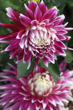 flashy colors of the dahlia flower bloom - Another one of these big dahlias.