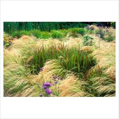 Mixed border with mass planting of Stipa tenuissima - Spear Grass, and Imperata cylindrica rubra - Japanese Blood Grass.