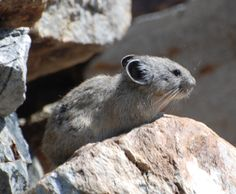 Pika, nicknamed rock rabbits or boulder bunnies, live in rocky alpine areas.