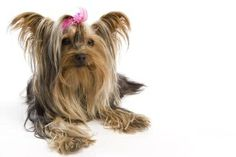 10 Short Yorkie Facts