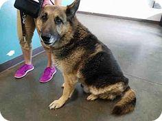 Chatsworth, CA - German Shepherd Dog. Meet MAX, a dog for adoption. http://www.adoptapet.com/pet/17510552-chatsworth-california-german-shepherd-dog