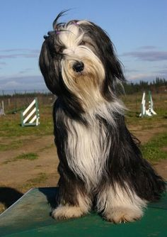 ♥Bearded Collie  Visit NoahsDogs.com for more breed information.  Take our compatibility test and browse dogs for adoption.