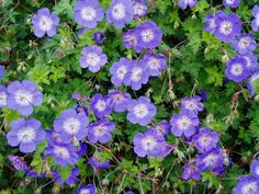 Geranium 'Rozanne' | Wild Geranium 'Rozanne' Perennial ground cover. Geranium 'Rozanne' is covered with violet-blue, white-centered blossoms from May until late fall. Even the deeply cut leaves are lovely on this charmer. Geranium 'Rozanne' has a spreading habit, but it can be easily pruned to train its growth to where you want it to go to create magnificent combinations throughout the garden.