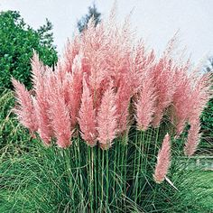 Pink Pampas Grass - Michigan Bulb