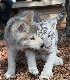 tiger and dog My fab aminals