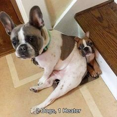 2 Dogs + 1 heater = a French Bulldog 'squishing' his little brother Cute Funny Animals, Funny Animal Pictures, Funny Dogs, Animal Quotes, Animal Memes, I Love Dogs, Cute Dogs, Mundo Animal, Dog Life