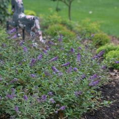 Butterfly bushes are butterfly magnets! Lo & Behold Blue Chip is a dwarf variety, so everyone has room for this pretty, long-blooming shrub: http://emfl.us/wcGd