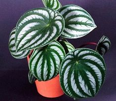 Watermelon Peperomia – mine look NOTHING like this - House Plants