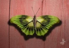 You can follow me on: http://facebook.com/pencileater      Kiwi butterfly