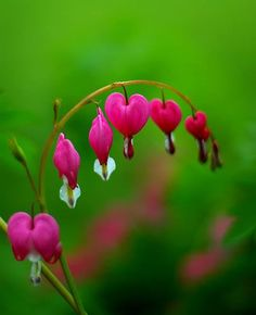 Bleeding hearts are one of those flowers that completely blows my mind. I absolutely love them, and they make really great photo subjects. Check out these 18 blossoming bleeding heart pictures.
