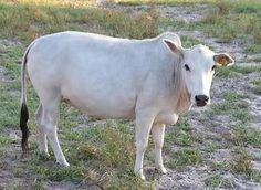 More Miniature Zebu Cows at Bogle Farms, Sorrento, FL Zebu Cattle, Breeds Of Cows, Cattle For Sale, Miniature Cattle, Longhorn Cattle, Organic Beef, Future Farms, Cow Art