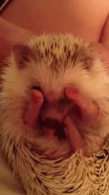 The perfect Hedgehogs Bath Cleaning Animated GIF for your conversation. Discover and Share the best GIFs on Tenor. Hedgehog Bath, Pygmy Hedgehog, Baby Hedgehog, Cute Funny Animals, Cute Baby Animals, Funny Cute, Animals And Pets, Animal Pictures, Cute Pictures