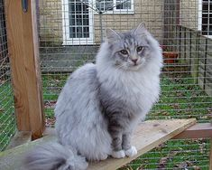 Norwegian Forest Cat http://www.mainecoonguide.com/how-to-tell-if-a-kitten-is-a-maine-coon/ #NorwegianForestCat