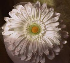 Daisy, daisy, daisy