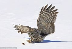 Great Grey Owl catching a vole in the snow