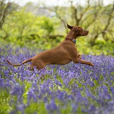 Dancing through the bluebells 💃 😇@edenpetfoods @ruffwear #vizsla #vizslagram #vizslasofinstagram #vizslasofinstagram101 #hungarianvizsla #dogoftheday #dogsofinstagram #dog