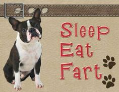 Sleep, Eat, Fart - life of a Boston Terrier!  They are talking about my Riley girl for sure!!!
