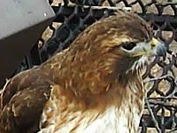Bird Cam of Red-tailed hawks from the Cornell Lab of Ornithology (Eastern Bluebird and Great Blue Heron bird cams as well).  So entertaining...