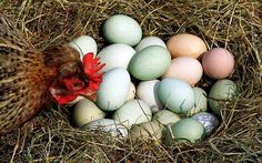 Old Cotswold Legbar Chickens (and their pastel coloured eggs)