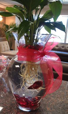 Betta tip: Soak your plant roots to make it easier to get the dirt off before placing it in the vase with the fish.