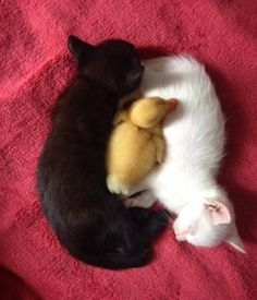 14 Pictures of Yin And Yang Cats That Look Purr-fect Together #Ducks