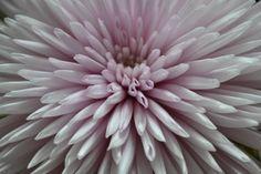 #Chrysant zachtrose www.flamingobloemen.nl