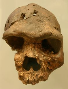Bodo, Homo heidelbergensis. Taken at the David H. Koch Hall of Human Origins at the Smithsonian Natural History Museum