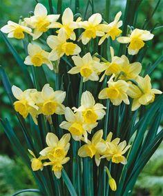 Narcissus Stint - Triandrus Narcissi