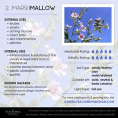 2. Marsh Mallow – Medicinal Plants for Your Garden