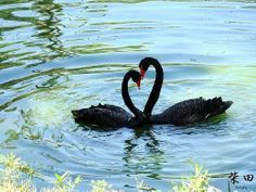 swan+and+reflection+in+water | Heart Black Swans Water Reflection