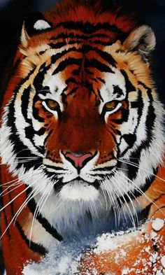 I love these amazing tigers