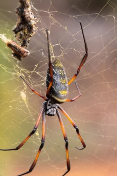 """Goldern orb spider: """"There's one impressive invertebrate which you will encounter almost everywhere you go; all you need do is look up. The huge golden orb-web spiders string together massive webs often extending between trees and telephone wires. Along Fianar's telegraph cables hundreds of Nephilas string their webs together forming an impressively huge net several hundred metres long!"""" Credit: Ray Cottrell www.bradtguides.com"""