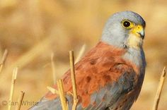 HUGE VICTORY. Nature laws have been saved in Europe thanks to your support 🎉 Between the 1960s and 1990s, populations of Lesser Kestrel…
