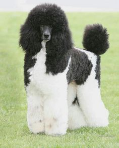 PARTY-COLORED STANDARD POODLE ~ JUST BEAUTIFUL <3 <3 <3 <3