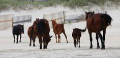 Beautiful photography of Corolla's wild horses on the Outer Banks, NC, by Marianne Gradeless.