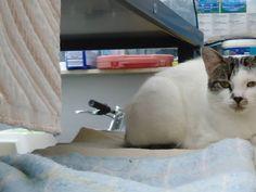 VERMIST!!!! Onze 2 jarige gesteriliseerde kattin is voor het laatst gezien op 8 september ter hoogte van de Groenstraat in Nederhasselt. Ze is al die tijd niet meer gezien...onze zoon is er het hart van in ... Als je ze ziet,gelieve dan haar aan te spreken met Minouche is zeer lief en afhankelijk ze spint direct....We missen haar o zo veel.... je kan ons altijd contacteren op dit nr 0474/21 40 51 .