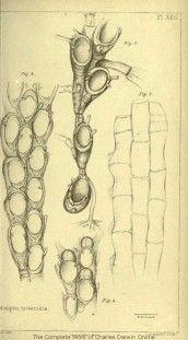 Illustrations of Darwin's Beagle specimens Darwin Theory, Personal Investigation, Charles Darwin, Beagle, History, Evolution, Artist, Illustrations, Beagle Hound
