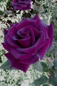 Violette Rose - - New Ideas Beautiful Flowers Wallpapers, Beautiful Rose Flowers, Rare Flowers, Exotic Flowers, Amazing Flowers, Diy Flowers, Rare Roses, Rose Violette, Rosa Rose