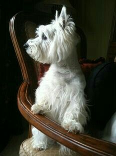 D(9/10/2017) West Highland white terrier .posando en la silla.