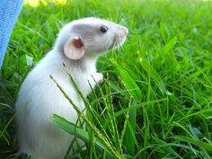 Little Dumbo rat...