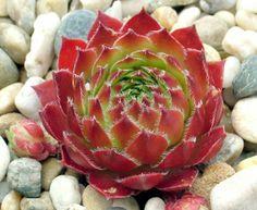Sempervivum 'Pacific Opal'
