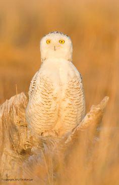 500px / Golden Snowy Owl by Tin Man