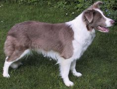 Lilac border collie. Love this color!