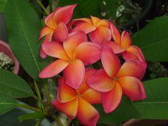 Frangipani....pink and orange are beautiful