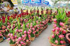 dragon fruit plant care is absolutelyThe Rainforest Garden: I PitayaDragonfruit plants and seedlings Dragon Fruit Cactus, How To Grow Dragon Fruit, Dragon Fruit Pitaya, Fruit Plants, Fruit Garden, Edible Garden, Fruit Trees, Succulents Garden, Garden Plants
