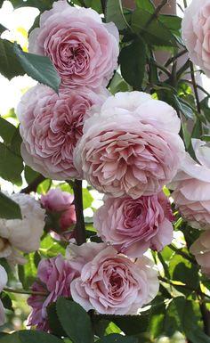 'William Morris' ::English Rose Collection. David C. H. Austin • United Kingdom - 1987.